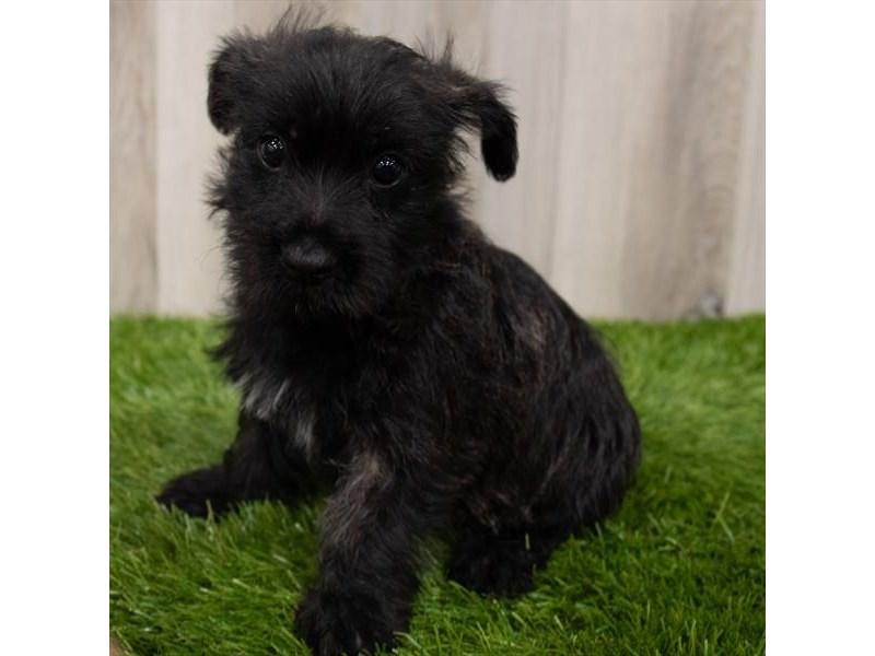 Cairn Terrier-Female-Black-3162106-Furrylicious