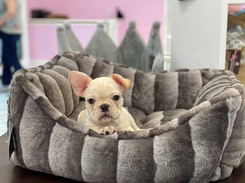 French Bulldog-DOG-Male-Cream-3164406-Furrylicious