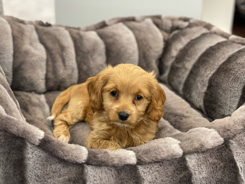 Cockapoo 2nd gen-Female-Light Red-3162388-Furrylicious