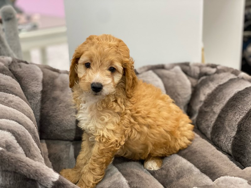 Cockapoo 2nd gen-DOG-Male-Red-3162383-Furrylicious