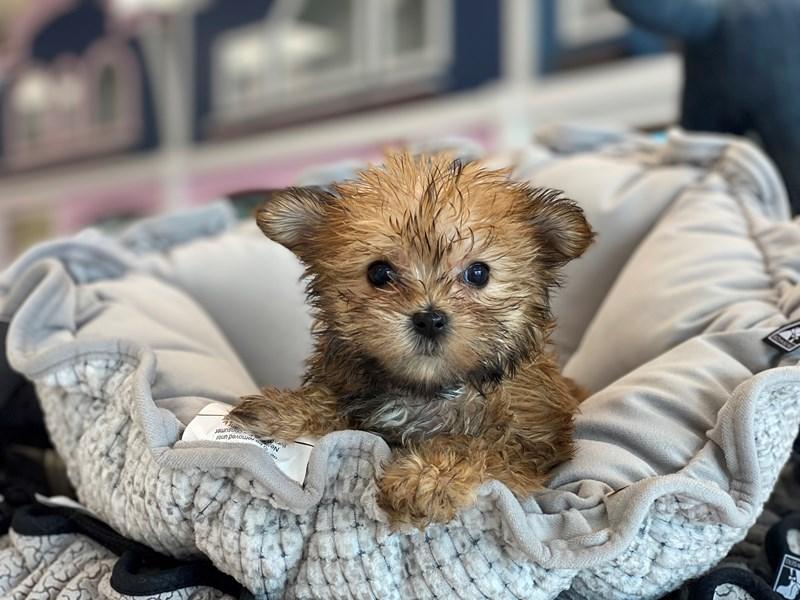 Morkie-DOG-Female-Cinnamon-3164449-Furrylicious