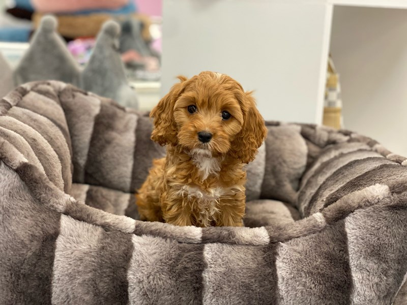 Cavapoo-DOG-Male-Red-3161433-Furrylicious