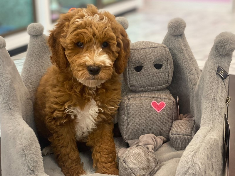 Goldendoodle Mini-Male-Red and White-3173149-Furrylicious