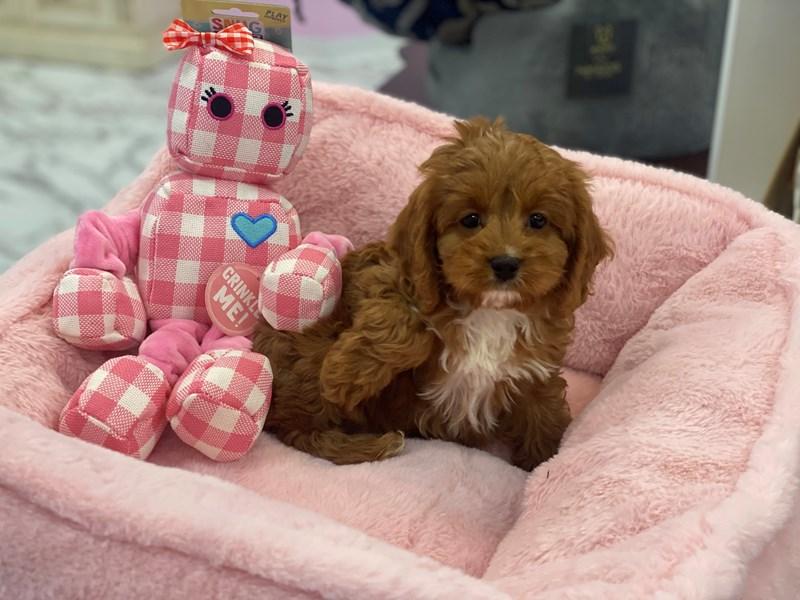 Cavapoo-DOG-Female-Red-3170919-Furrylicious
