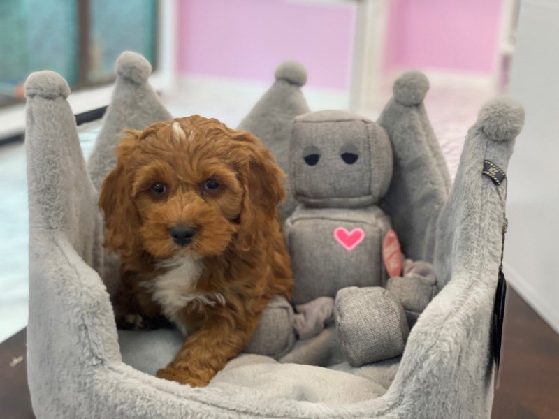 Cavapoo-Male-Red-3170921-Furrylicious