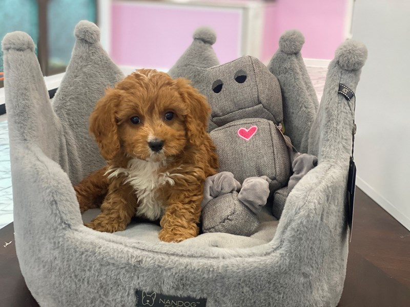 Cavapoo-Male-Red-3170920-Furrylicious