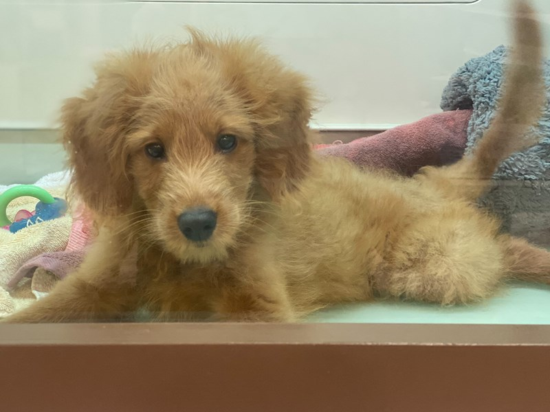 2nd Generation Mini Goldendoodle-DOG-Male-Red-3164505-Furrylicious