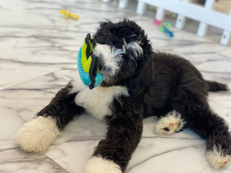 Sheepadoodle-DOG-Female-Black and White-3145037-Furrylicious