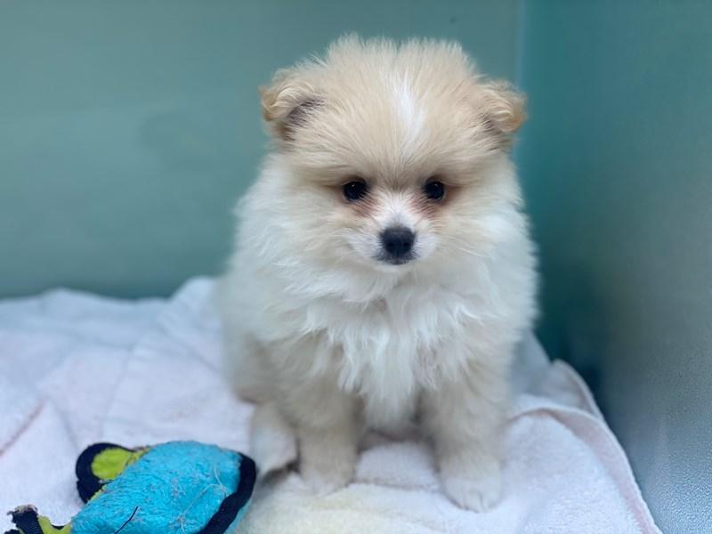 Pomeranian-DOG-Male-Cream-3173148-Furrylicious