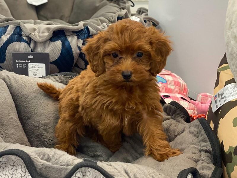 Irishdoodle Mini-DOG-Male-Red-3180798-Furrylicious