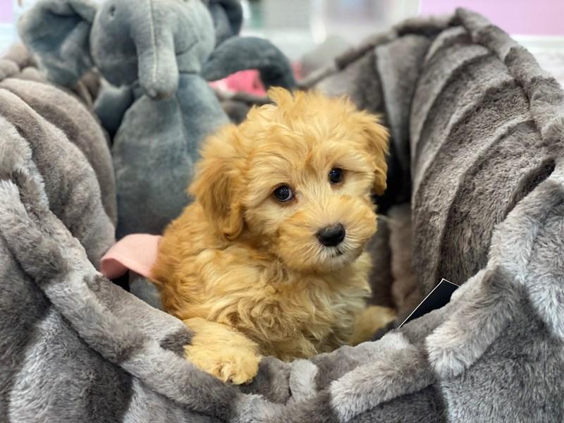 Whoodle Mini-DOG-Female-Apricot-3180823-Furrylicious