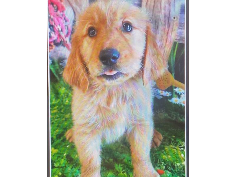 Golden Retriever-DOG-Male-Red-3183274-Furrylicious