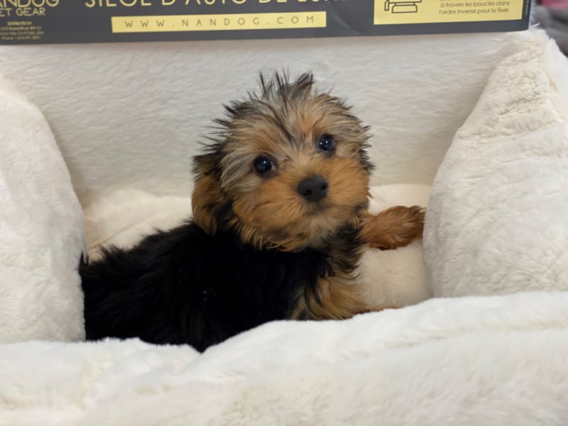 Yorkshire Terrier-Male-Black and Gold-3183230-Furrylicious