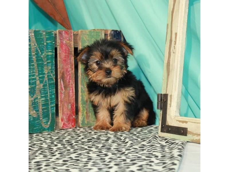 Yorkshire Terrier-Female-Black / Tan-3188876-Furrylicious