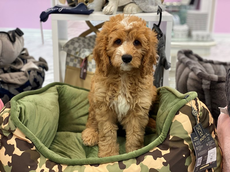 Bernedoodle 2nd Gen-Female-Red / White-3188870-Furrylicious