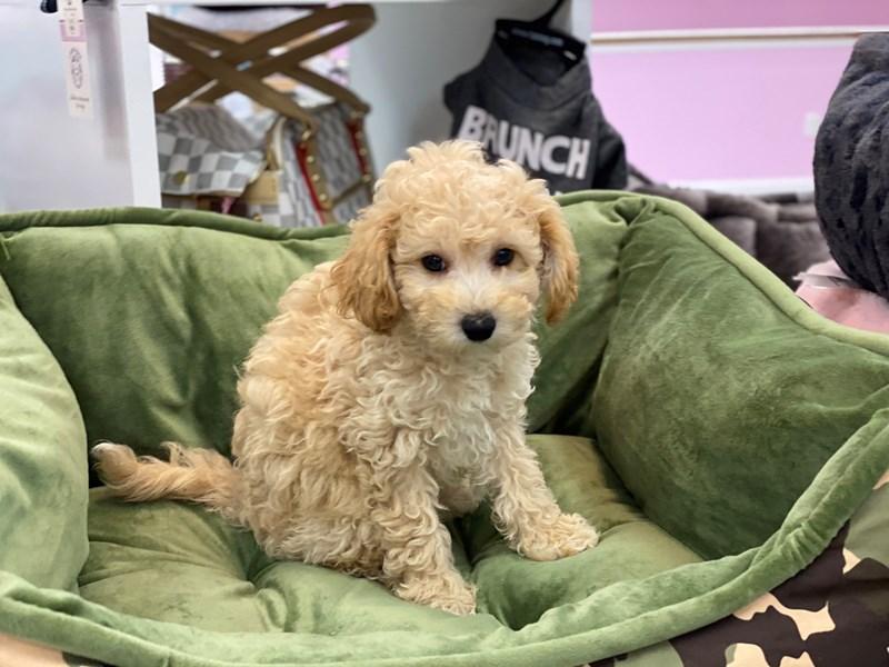 Bichapoo-DOG-Female-Apricot-3188874-Furrylicious