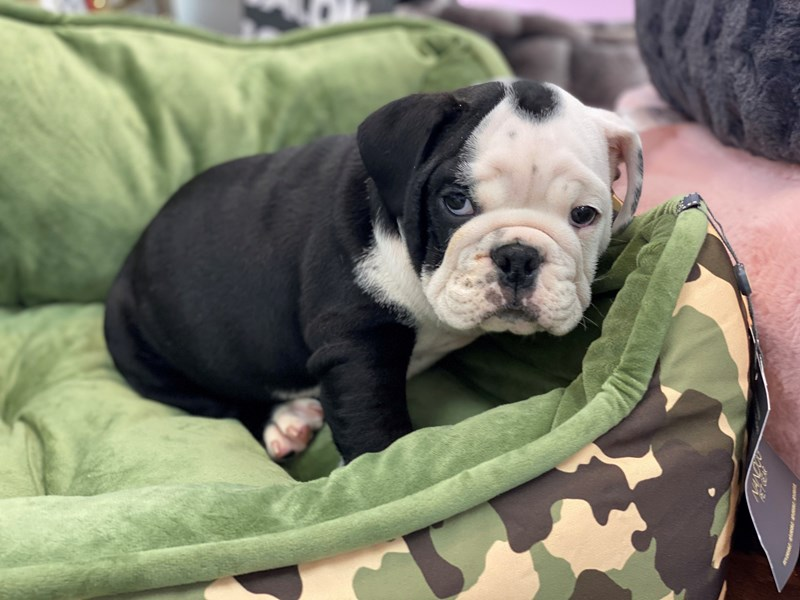 English Bulldog-Male-Black, Seal and White-3191671-Furrylicious