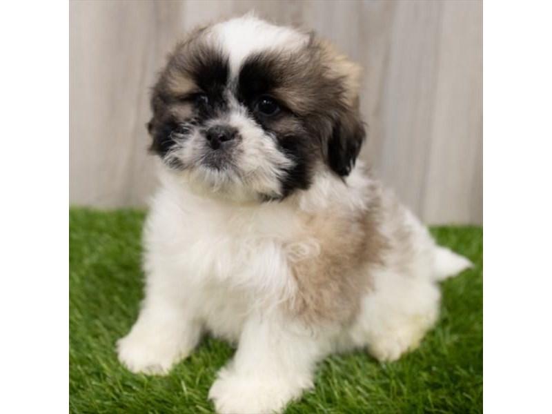 Teddy Bear-DOG-Male-Brindle / White-3161734-Furrylicious