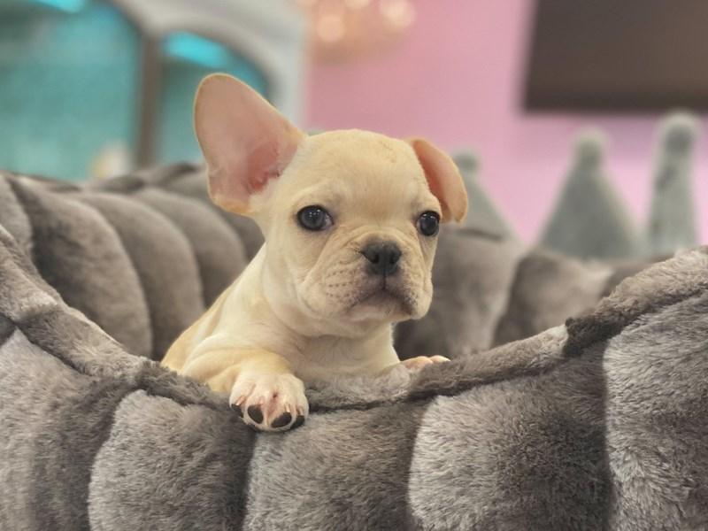 French Bulldog-Male-Cream-3164412-Furrylicious