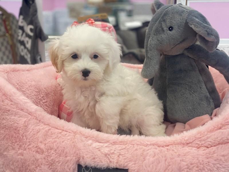 Havapoo-DOG-Female-Cream / White-3170922-Furrylicious
