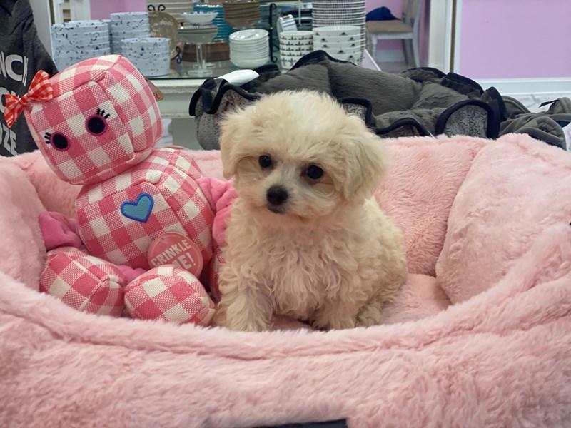 Maltipoo-DOG-Female-Cream / White-3172358-Furrylicious