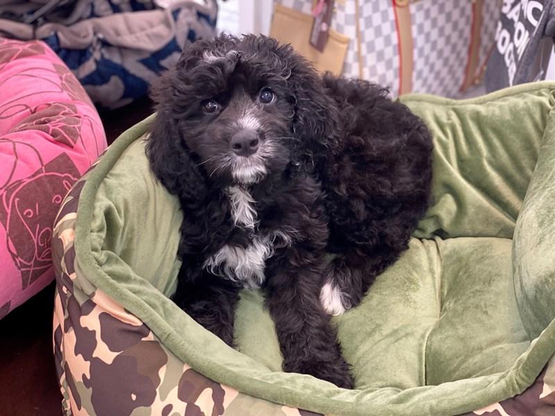 Bernedoodle 2nd Gen-DOG-Female-Black / White-3188871-Furrylicious