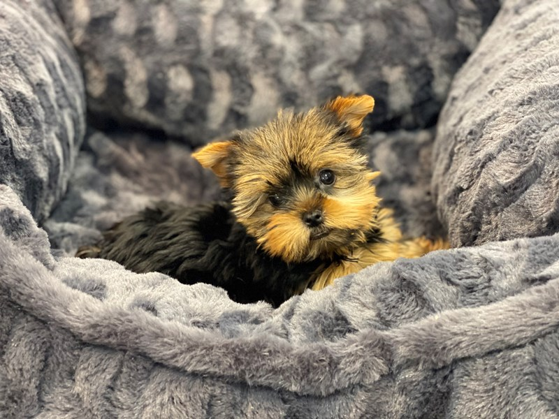 Yorkshire Terrier-Female-Black and Tan-3191761-Furrylicious
