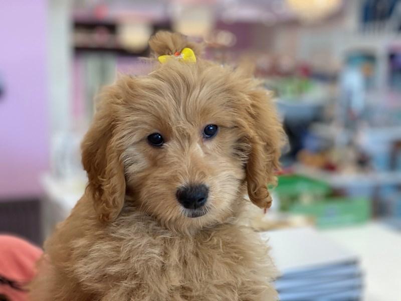 Goldendoodle Mini-Female-Golden-3172268-Furrylicious