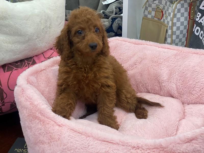 Irishdoodle Mini-Female-Red-3200479-Furrylicious