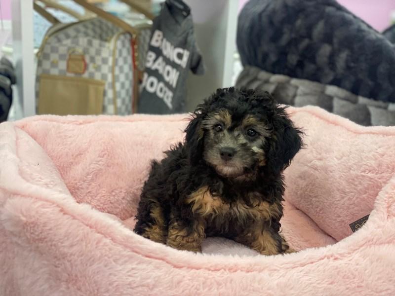 Poodle Mini-Female-Black / Apricot-3200488-Furrylicious