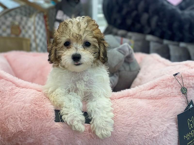Toy Poodle-DOG-Female-Apricot Parti-3200925-Furrylicious