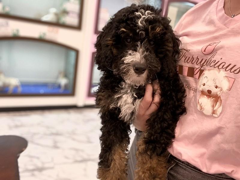 Bernedoodle Mini-DOG-Male-Tri Colored-3183134-Furrylicious