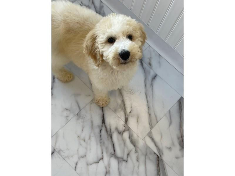 Standard Poodle-Male-White / Apricot-3180808-Furrylicious