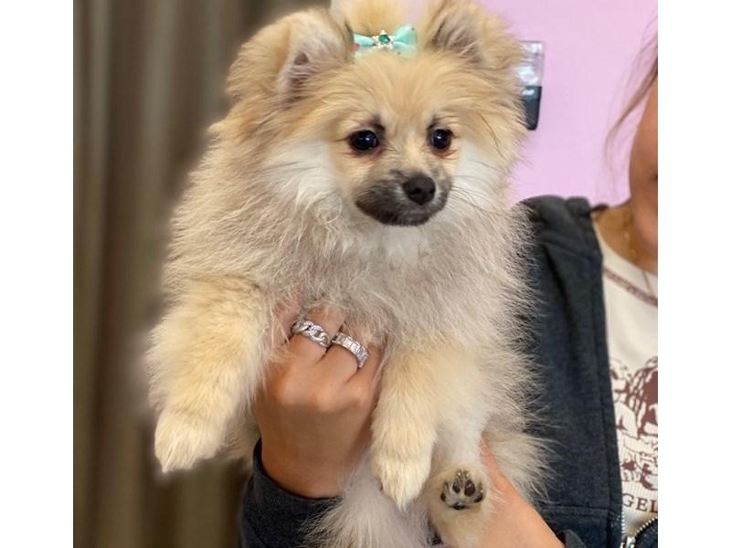 Pomeranian-Female-Wolf Sable-3161434-Furrylicious