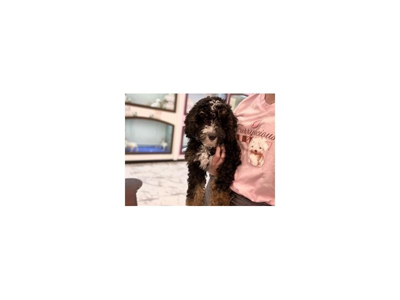 Bernedoodle Mini-Male-Tri Colored-3183121-Furrylicious