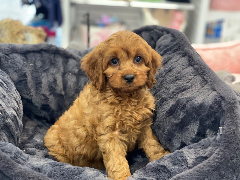 Cavapoo-Male-Red-3208822-Furrylicious