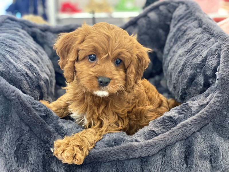Cavapoo-Male-Red-3208824-Furrylicious