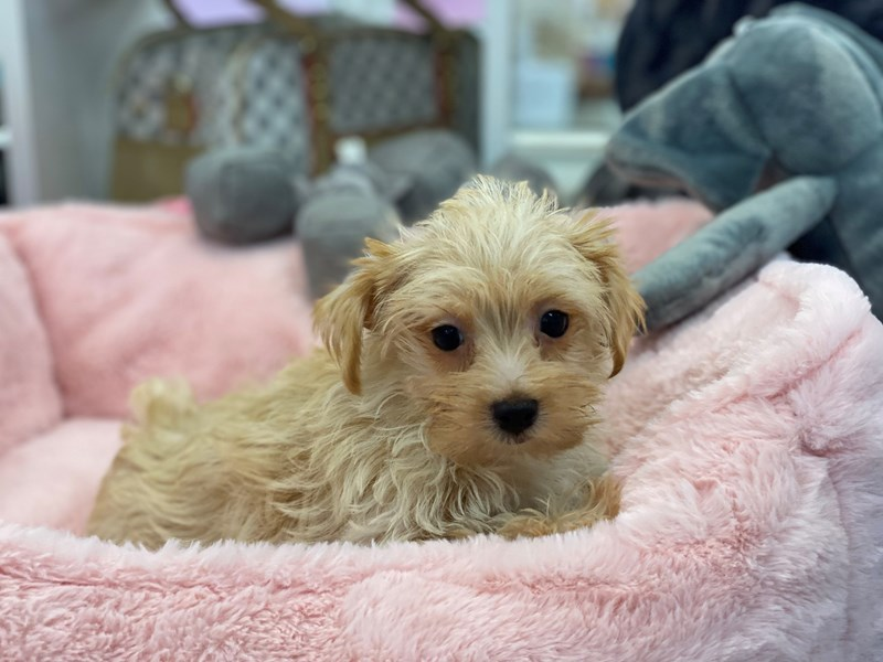 Morkie-Female-Gold and White Markings-3209016-Furrylicious
