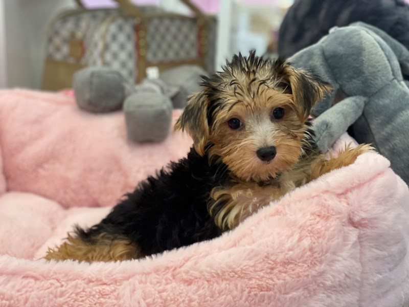 Morkie-DOG-Female-Blk, Tan and White-3209007-Furrylicious