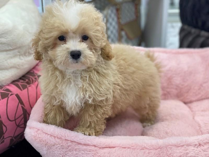 Maltipoo-DOG-Female-Apricot w/ white markings-3191789-Furrylicious