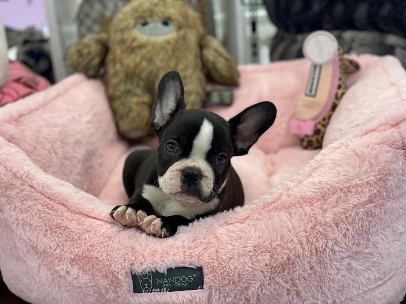 Frenchton-DOG-Male-Black Brindle / White-3220268-Furrylicious