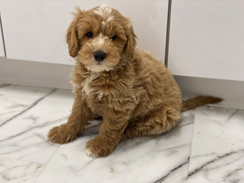 Goldendoodle Mini-Male-Apricot with white markings-3220517-Furrylicious