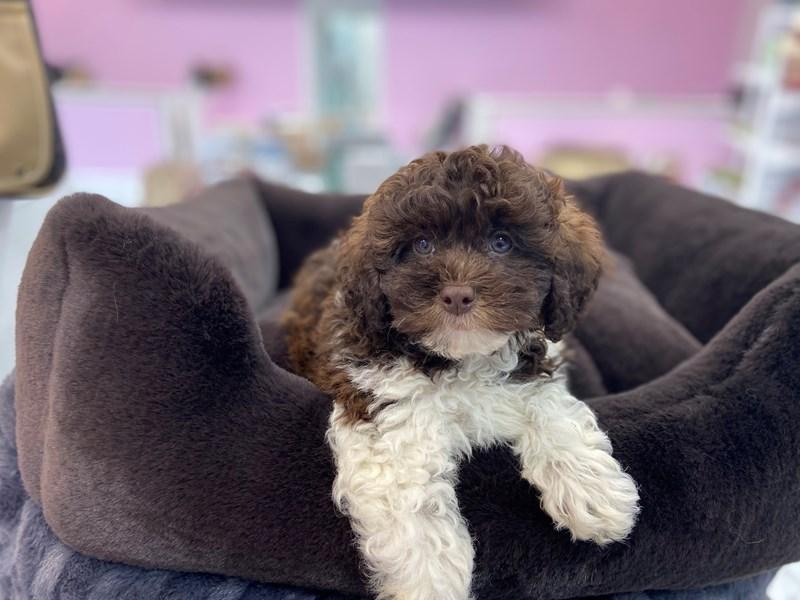 Shih Tzu/Poodle-DOG-Female-Chocolate / White-3221302-Furrylicious
