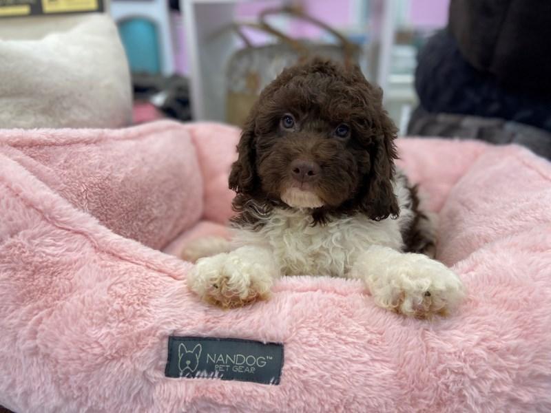Mini Newfypoo-DOG-Male-Chocolate / White-3221310-Furrylicious