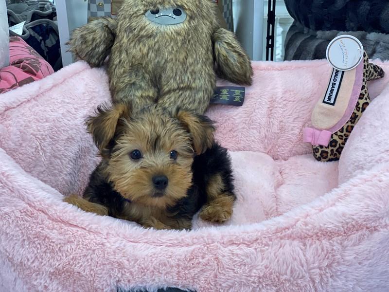 Yorkshire Terrier-Male-Black / Tan-3220227-Furrylicious