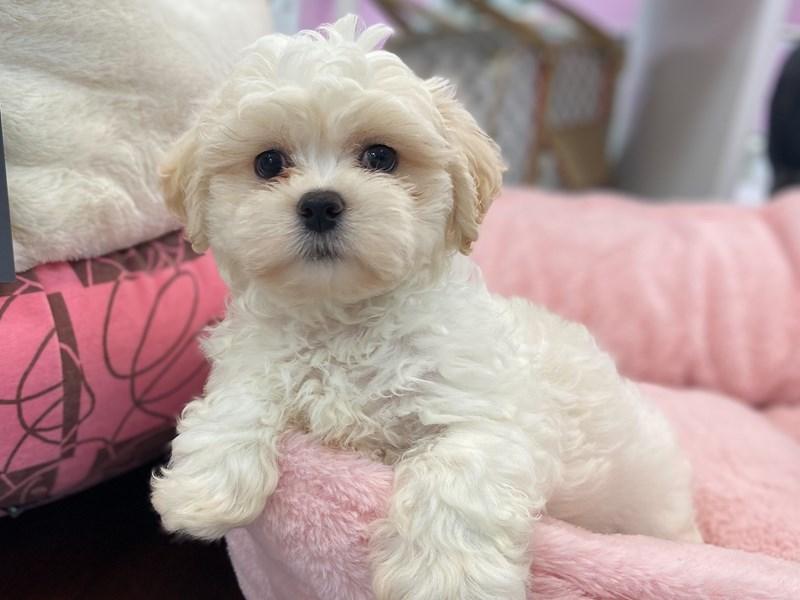 Teddy Bear (Zuchon)-DOG-Male-White-3221496-Furrylicious