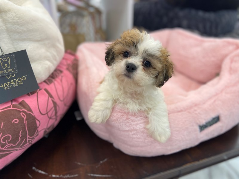 Teddy Bear (Zuchon)-Male-Sable and White-3221500-Furrylicious