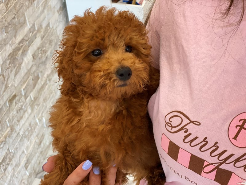 Toy Poodle-Male-Apricot-3210708-Furrylicious