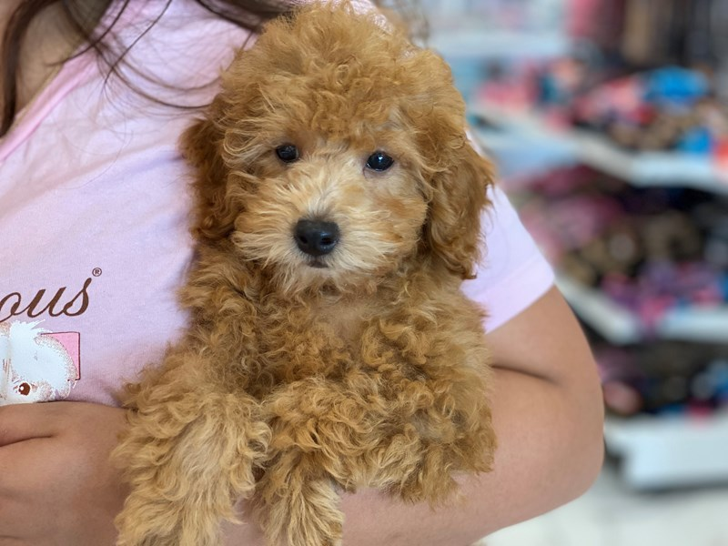 Toy Poodle-Male-Apricot-3210718-Furrylicious