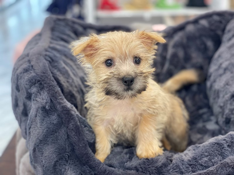 Cairn Terrier-DOG-Male-Wheaten-3228534-Furrylicious